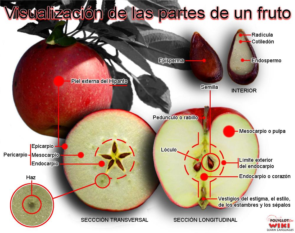 Asombroso Manzana Pericarpio Modelo - Imágenes de Anatomía Humana ...