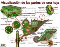 Botanical vocabulary in Spanish: the flower
