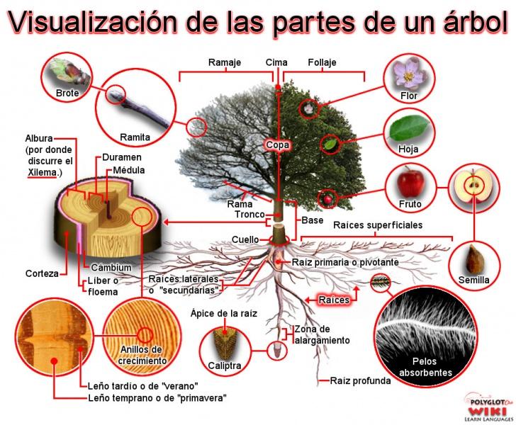 Botanical vocabulary in spanish the tree for Cuales son las partes de un arbol
